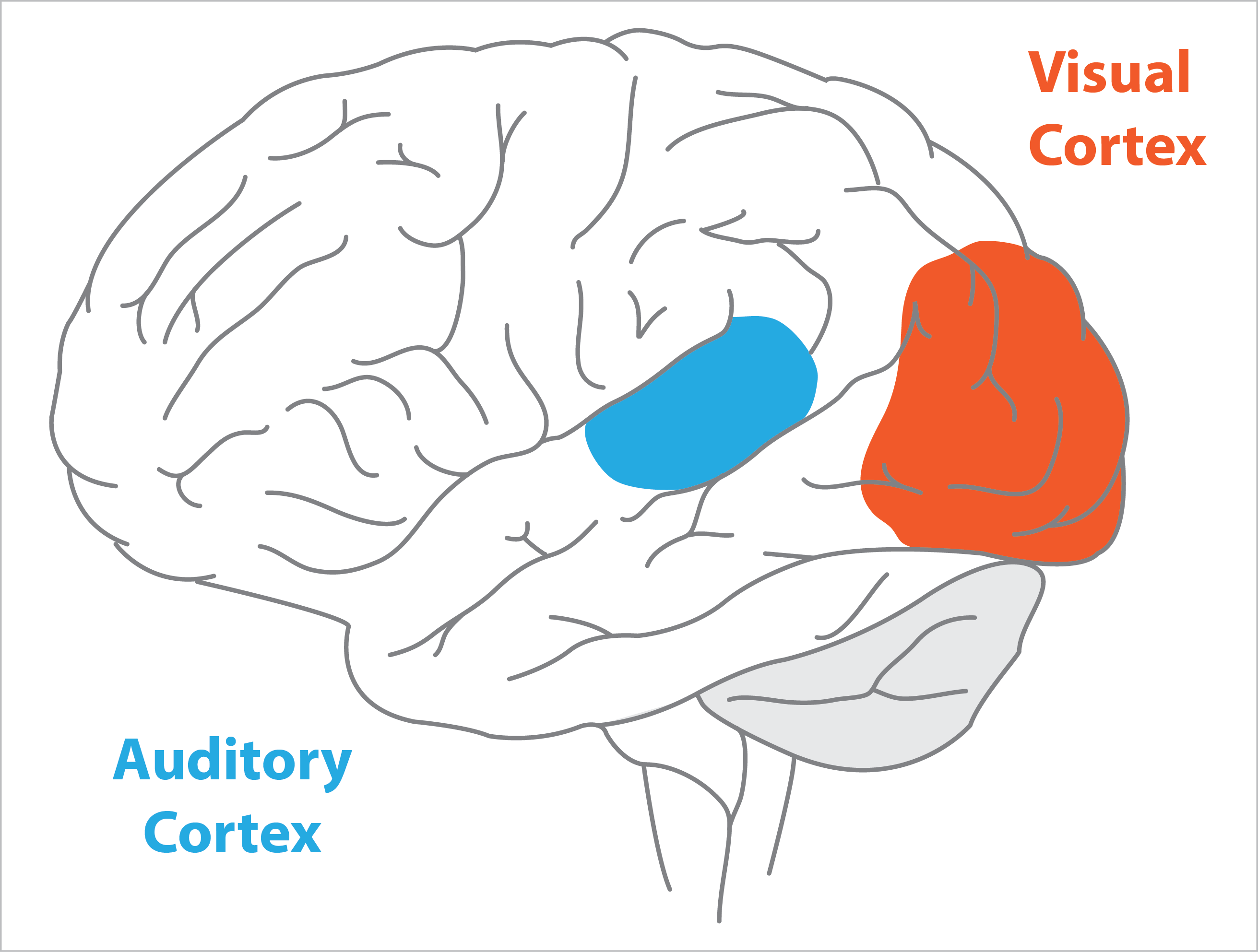 Auditory Cortex In Diagram Parts Auto Parts Catalog And